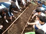 ジャガイモの種芋の植え付け
