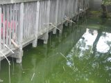 蓮池ザリガニ釣り