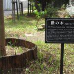 第221回 80周年記念館前~「楷の木」の物語